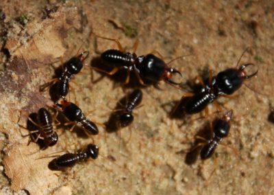 Angkor Termites
