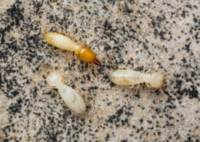 Thai Termites