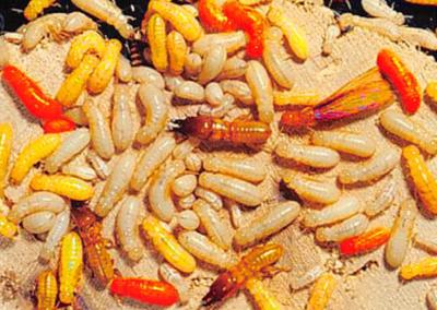 Drywood Termite Colony