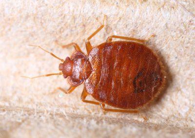 Adult Mature Bed Bug