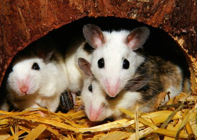 Pest Control For Rats & Mice
